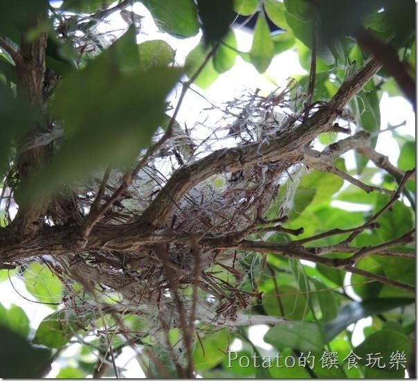 綠繡眼在我家築巢11