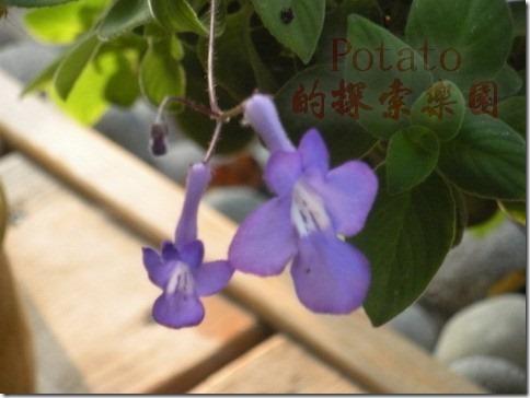 海豚花—美麗的小精靈-紫色小天使