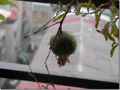 石榴-多子多孫多福氣,成熟時是大紅大紫