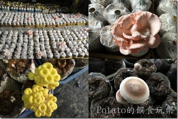 菇菇部屋的菇種