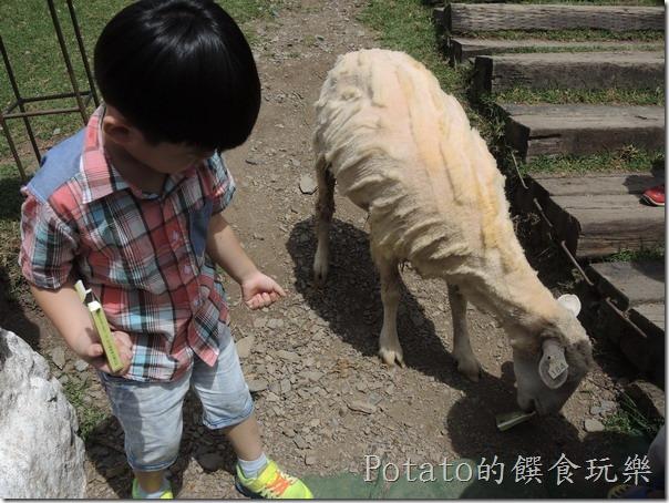青青草原的綿羊