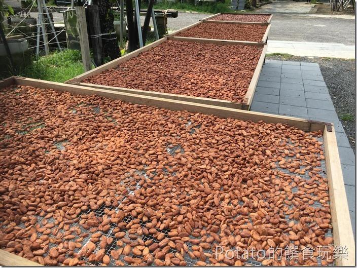 福灣巧克力莊園曬可可豆