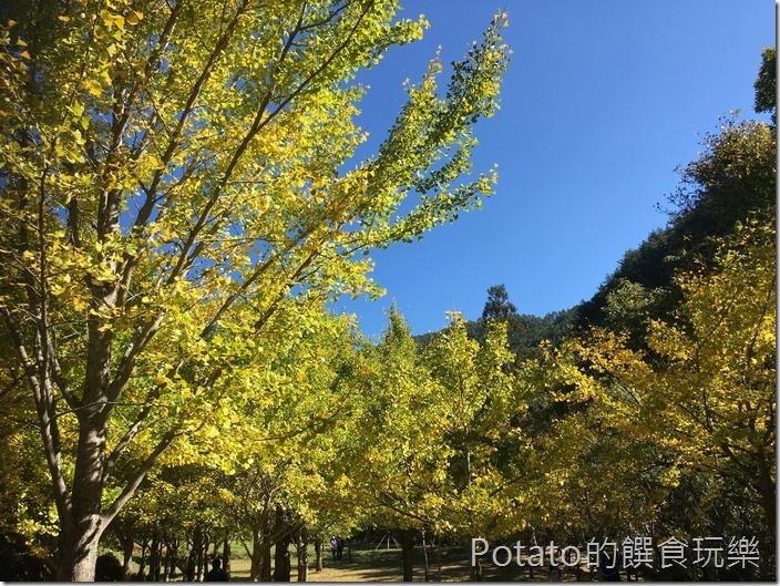 武陵農場楓情銀杏林3