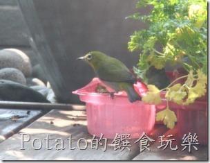 綠繡眼在我家築巢3-1