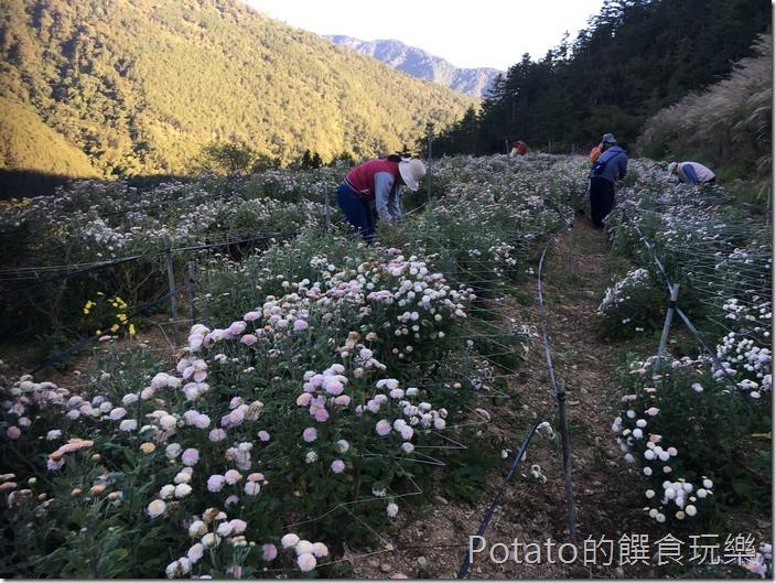 武陵農場採杭菊